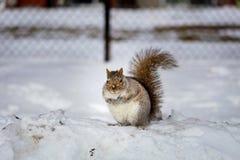 Grey Squirrel na neve, Lachine, Montreal, Quebeque, Canadá Imagem de Stock