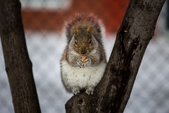 Grey Squirrel na neve, Lachine, Montreal, Quebeque, Canadá Imagens de Stock