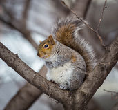 Grey Squirrel na neve, Lachine, Montreal, Quebeque, Canadá Fotografia de Stock Royalty Free