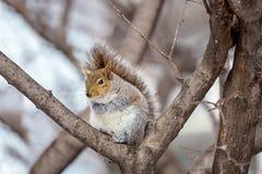 Grey Squirrel na neve, Lachine, Montreal, Quebeque, Canadá Fotografia de Stock