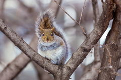 Grey Squirrel na neve, Lachine, Montreal, Quebeque, Canadá Fotos de Stock Royalty Free