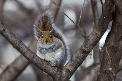 Grey Squirrel na neve, Lachine, Montreal, Quebeque, Canadá Imagem de Stock