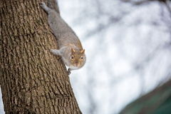 Grey Squirrel na neve, Lachine, Montreal, Quebeque, Canadá Fotos de Stock