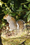 Grey Squirrel. Native to America the Gray squirrel was introduced to the UK stock images