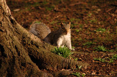 Grey squirrel next to a tree Royalty Free Stock Images