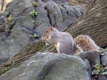 Grey Squirrel no Central Park fotografia de stock royalty free