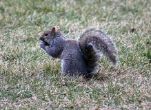 Grey squirrel with a nut on its mouth. royalty free stock photos