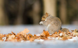 Grey squirrel and nuts Stock Photos