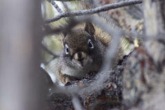 Grey Squirrel occidental dans l'arbre photo stock