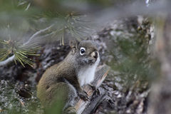Grey Squirrel occidental dans l'arbre Images stock