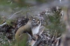 Grey Squirrel occidentale in albero Immagini Stock