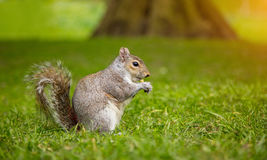 Free Grey Squirrel On Grass Eating Some Food Stock Photo - 91682990