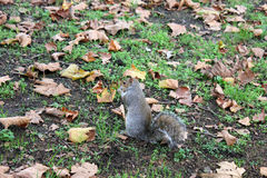 A grey squirrel in one of London parks Royalty Free Stock Photo