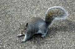 The grey squirrel Royalty Free Stock Photos