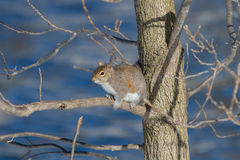 Grey Squirrel oriental Images stock
