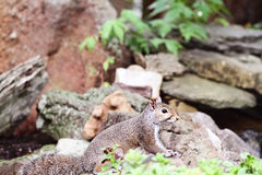 Grey Squirrel oriental Photos libres de droits