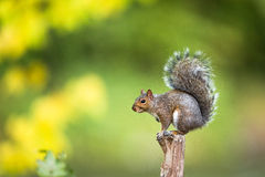 Grey Squirrel oriental Fotografia de Stock
