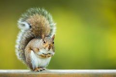 Grey Squirrel oriental photos libres de droits