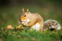 Grey Squirrel oriental photographie stock libre de droits