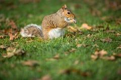 Grey Squirrel oriental photos stock