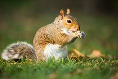 Grey Squirrel oriental image libre de droits