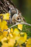 Grey Squirrel oriental photo stock