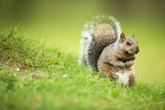 Grey Squirrel oriental photographie stock