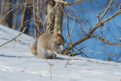 Grey Squirrel orientale Immagine Stock