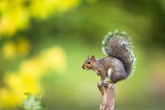Grey Squirrel orientale Fotografia Stock