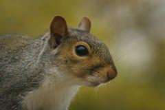 Grey Squirrel orientale Fotografie Stock Libere da Diritti