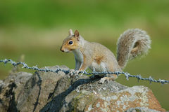 Grey Squirrel på Barbed - tråd Royaltyfria Foton
