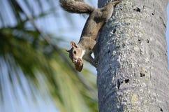 Grey Squirrel på en kokosnöt gömma i handflatan Arkivfoto