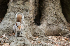 Grey squirrel in the park Stock Images