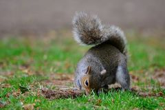 Grey squirrel on a playing with a tuft of grass Royalty Free Stock Photo