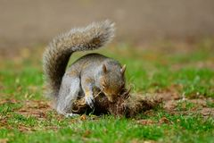 Grey squirrel  playing with a tuft of grass. Close up portrait of a grey squirrel playing with a tuft of grass Stock Photo