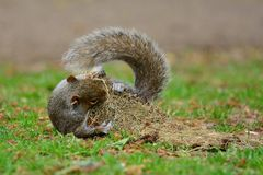 Grey squirrel on a playing with a tuft of grass Stock Photos