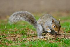 Grey squirrel on a playing with a tuft of grass Royalty Free Stock Photos
