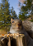 Grey squirrel portrait Stock Image