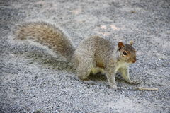Grey squirrel. Posing for the camera Stock Photo