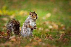 Grey Squirrel in prato Fotografie Stock Libere da Diritti
