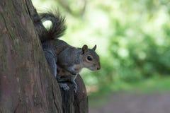 Grey Squirrel que se sienta en árbol Foto de archivo