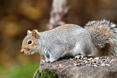 Grey Squirrel Ready To Jump orientale (Sciurus Carolinensis) fotografia stock