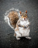 Grey Squirrel with Red Fur On Pavement Stock Image