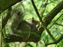 Grey Squirrel Relaxing op een Boom stock fotografie