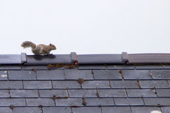 Grey squirrel on roof Stock Photo