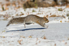 Grey squirrel running Royalty Free Stock Photography