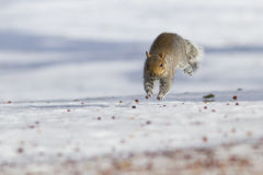 Grey squirrel running Royalty Free Stock Photo