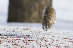 Grey squirrel running Stock Photo