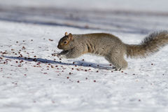 Grey squirrel running Royalty Free Stock Photos