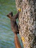 Grey squirrel scales tree trunk vertically in Croatia. royalty free stock photos